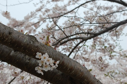 Blossoms, blossoms, everywhere