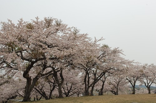 Look at all the cherry trees!