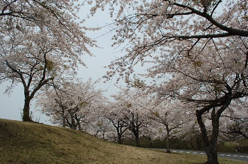 The hills are alive...with sakura