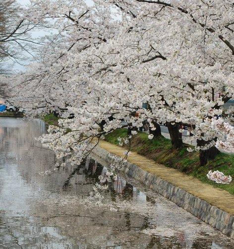 Sakura, sakura!