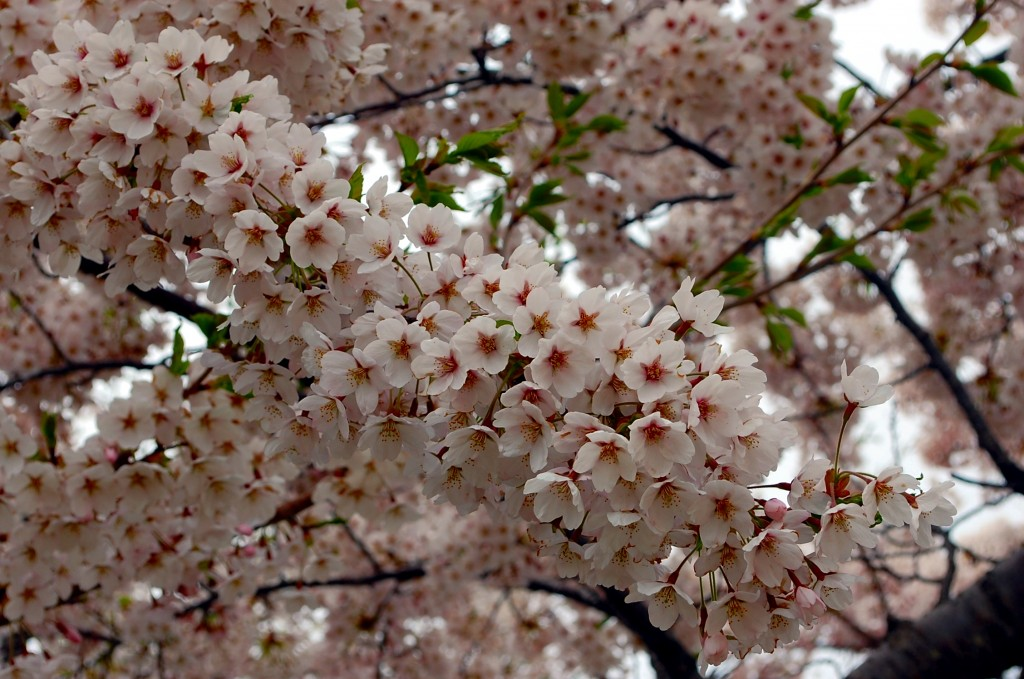 Sakura, sakura